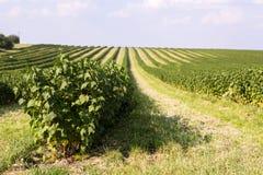 Feld der schwarzen Johannisbeere Stockfoto