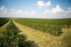 Feld der schwarzen Johannisbeere Lizenzfreies Stockbild