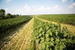 Feld der schwarzen Johannisbeere Lizenzfreies Stockfoto