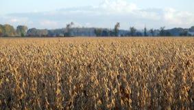 Feld der Sojabohnenöl-Bohnen Stockfotografie