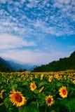 Feld der Sonnenblume Stockfotografie