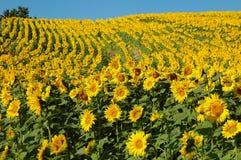 Feld der Sonnenblume Stockbilder