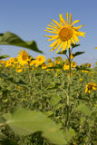 Feld der Sonnenblume Stockfoto