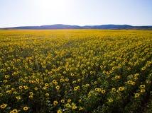Feld der Sonnenblume Schattenbild des kauernden Geschäftsmannes Stockfotografie