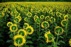 Feld der Sonnenblumen stockbilder
