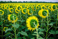 Feld der Sonnenblumen Lizenzfreie Stockfotografie