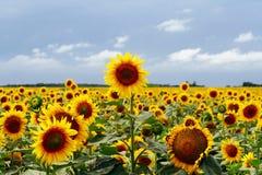 Feld der Sonnenblumen lizenzfreies stockfoto