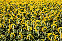 Feld der Sonnenblumen Stockfotografie