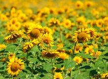 Feld der Sonnenblumen Lizenzfreie Stockbilder