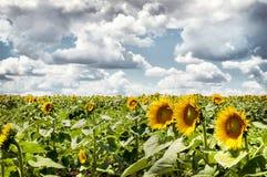 Feld der Sonnenblumen Stockbild