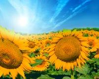 Feld der Sonnenblumen Stockfoto