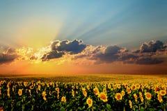 Feld der Sonnenblumen Stockfotos