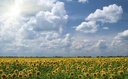 Feld der Sonnenblumen auf einem Hintergrund vom bewölkten Stockfoto