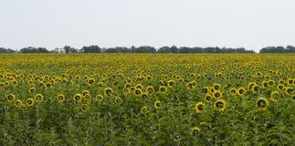 Feld der Sonnenblumen, die in Richtung der Sonne blicken Stockfotos