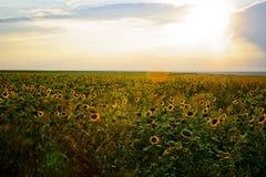 Feld der Sonnenblumen am Sonnenuntergang Stockbild