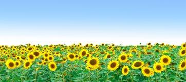 Feld der Sonnenblumen und des blauen Himmels Lizenzfreies Stockfoto