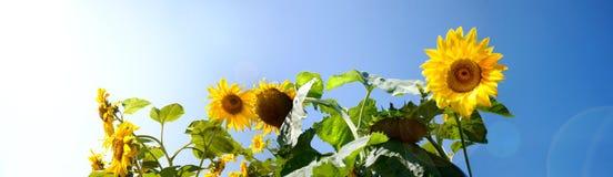 Feld der Sonnenblumen und des blauen Himmels Stockfotos