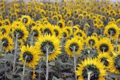 Feld der Sonnenblumen von hinten Stockfotografie