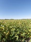 Feld der Soyabohnen Lizenzfreies Stockbild
