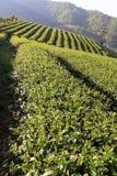 Feld der Teeplantage Lizenzfreie Stockfotos