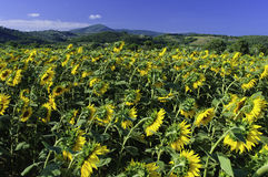 Feld der Toskana-Sonnenblume stockfoto