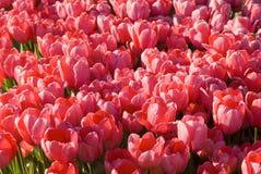 Feld der Tulpen Lizenzfreie Stockfotografie