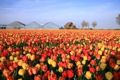 Feld der Tulpen Stockbild