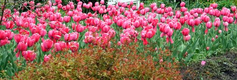 Feld der Tulpen Stockfotos