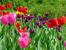 Feld der Tulpen Stockbilder