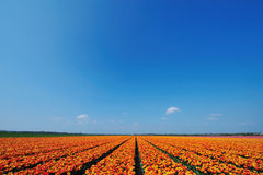 Feld der Tulpen lizenzfreies stockfoto