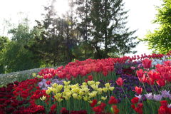 Feld der Tulpen im Park Lizenzfreies Stockbild
