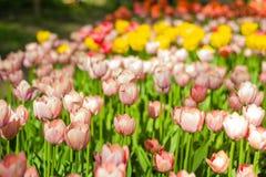 Feld der Tulpennahaufnahme mit bokeh Stockfoto