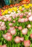 Feld der Tulpennahaufnahme mit bokeh Stockfotos