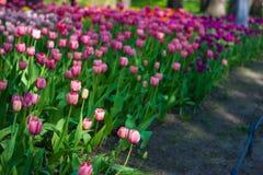Feld der Tulpennahaufnahme mit bokeh Lizenzfreies Stockbild