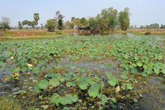 Feld der Wasserpflanzen Stockbild