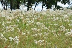Feld der weißen Blumen Stockfotos