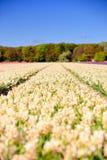 Feld der weißen Hyazinthen im Frühjahr Stockbilder