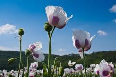 Feld der weißen Mohnblume Stockbild