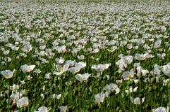 Feld der weißen Mohnblume Lizenzfreie Stockfotos