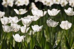 Feld der weißen Tulpen Lizenzfreies Stockbild