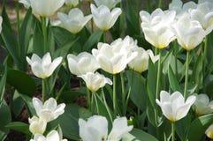 Feld der weißen Tulpen stockbilder