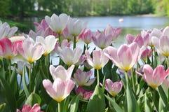Feld der weißen Tulpen lizenzfreies stockfoto