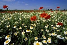 Feld der wilden Blume Stockfoto