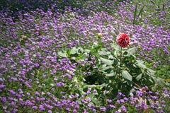 Feld der wilden Blume des Lavendels Stockfotos