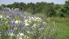 Feld der wilden Kamille und der Kornblume am windigen Sommertag 4K stock footage