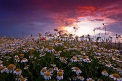 Feld der wilden Kamille und roter Sonnenuntergang Lizenzfreies Stockfoto