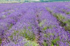 Feld des blühenden Lavendels Stockfoto