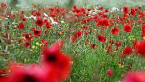 Feld des Blühens und des Tanzens in die Windmohnblumen, Mohnblumenfeld ProRes 4 2 2 10bit stock video