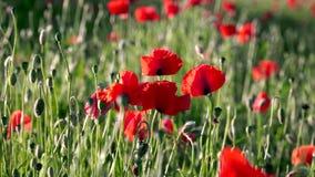 Feld des Blühens und des Tanzens in die Windmohnblumen, Mohnblumenfeld ProRes 4 2 2 10bit stock footage