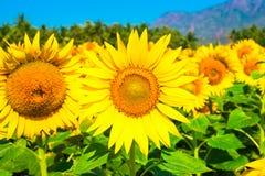 Feld des blauen Himmels der Sonnenblume mit Bergen Lizenzfreie Stockbilder